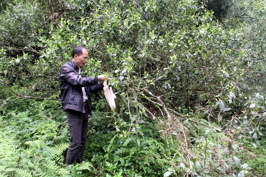融水发现上百年野生古茶树群 面积超千亩品种多样(6/11)