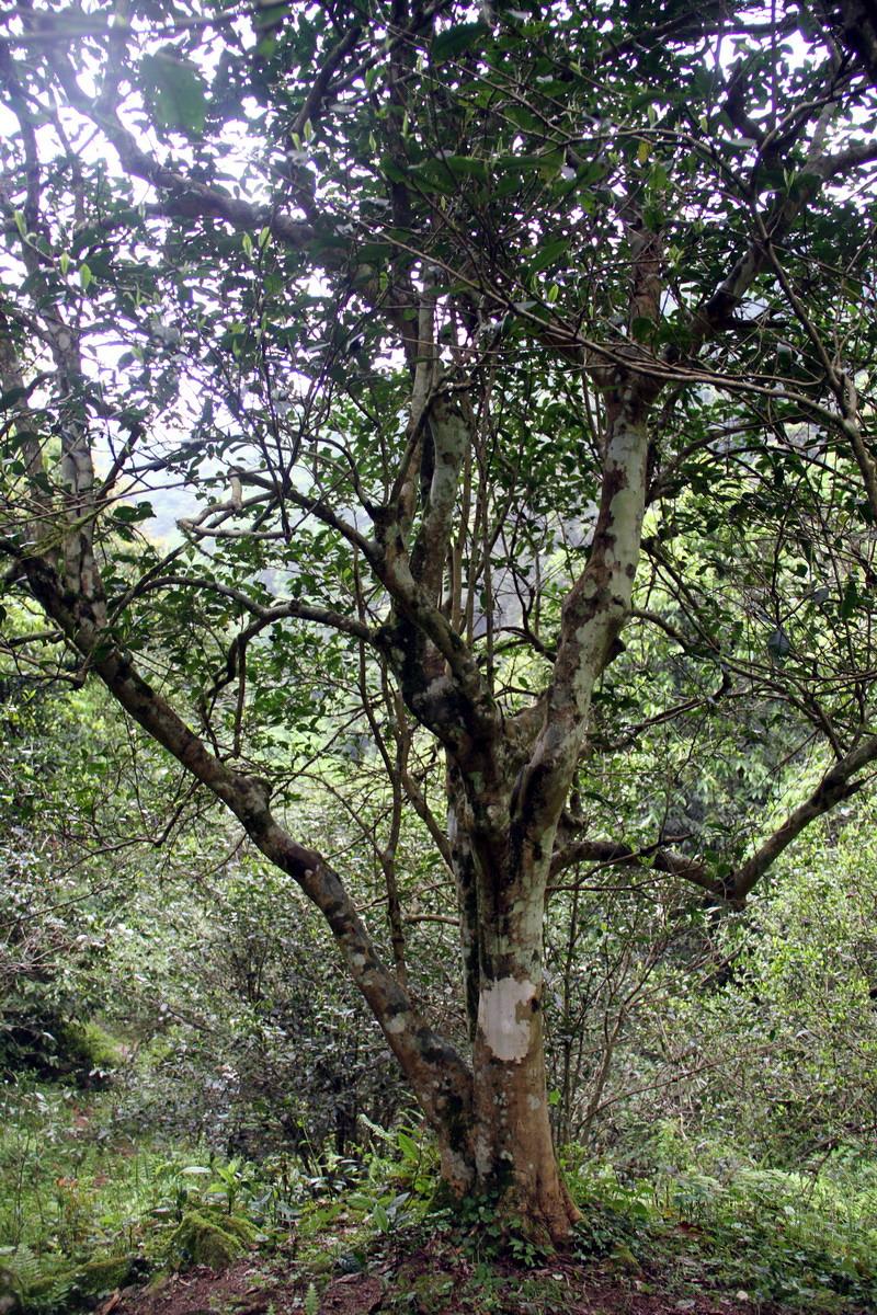 融水发现上百年野生古面积群品种超千亩茶树多样(10/11)索尼qx30操作说明图片