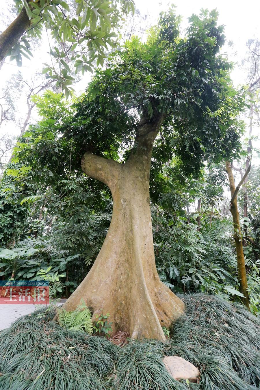 高清:南宁有哪些古树名木分布在哪儿 你知道吗?