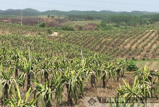 [缤纷钦南]火龙果种植基地:摘果赏花品火龙果酒