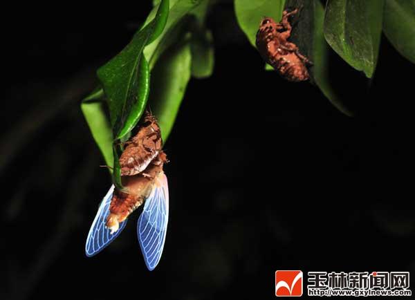 """""""知喳虫""""从地下钻出来,到爬上树枝破壳而出大约需要三个小时."""
