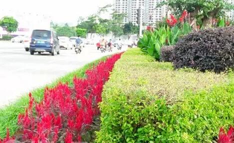 各种鲜花竞绽放 钦州街道成花海