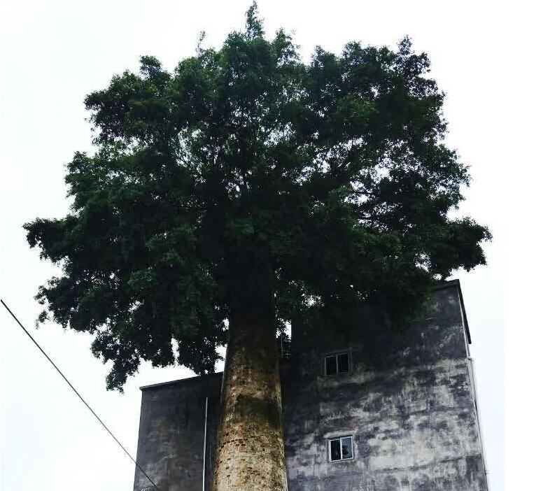 灵山奇观:长在烟囱上的榕树