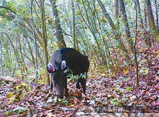 广西利用红外线相机拍摄调查珍稀野生动物纪事