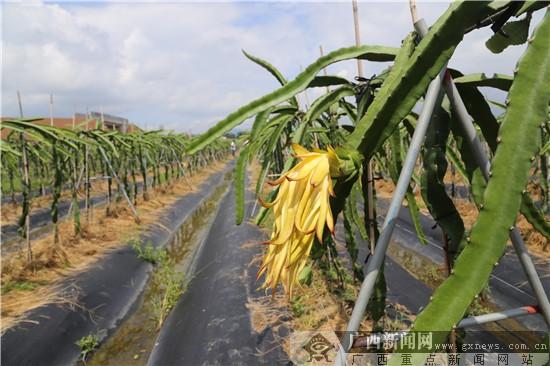 四季皆可赏花的板城镇碗窑村梨花谷,风景秀美的钦州钦北区正以独特的