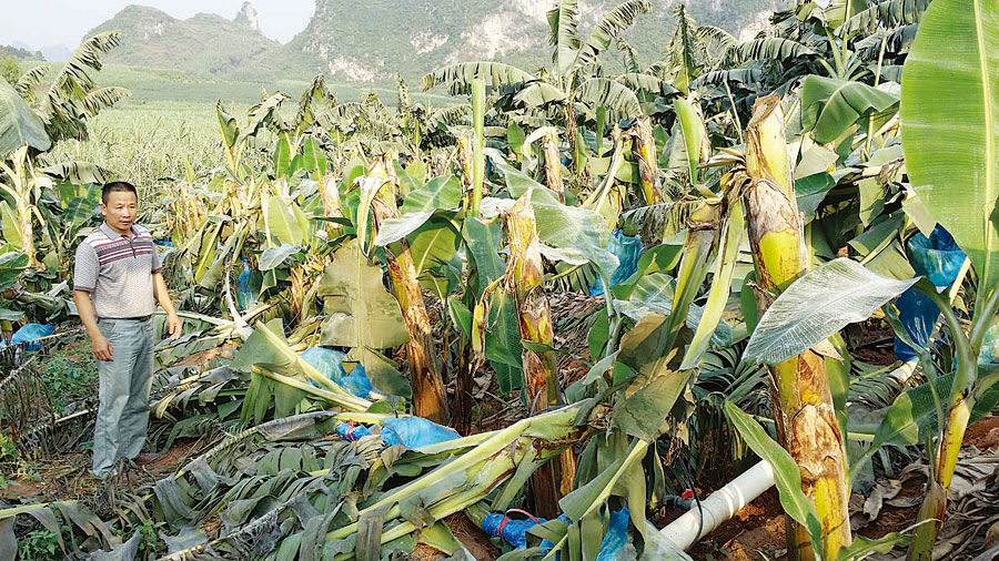 A banana forest was cut down maliciously