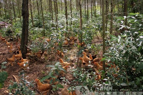 上林县推进产业化扶贫 带动村民发展特色养殖(图)