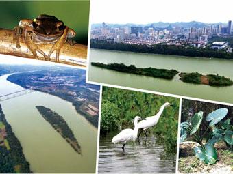 百里柳江青罗带耀眼绿珠江心岛 植被丰富鸟类繁多