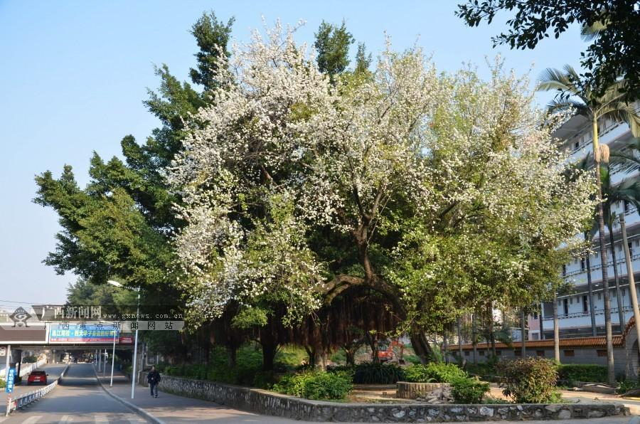 崇左桥边,一棵树的枝头缀满白色花朵. 广西新闻网记者  摄-高清 满