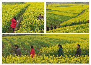 高清:广西融安万亩油菜花迎春开