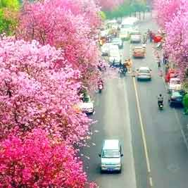 柳州紫荆花-广西手机报4月2日下午版