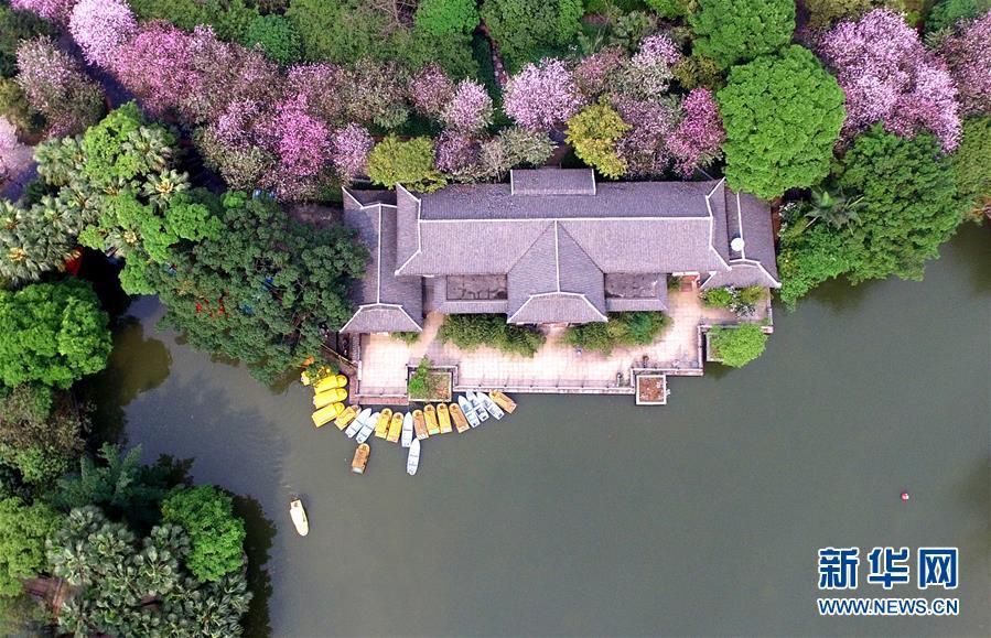 紫荆花开香柳州