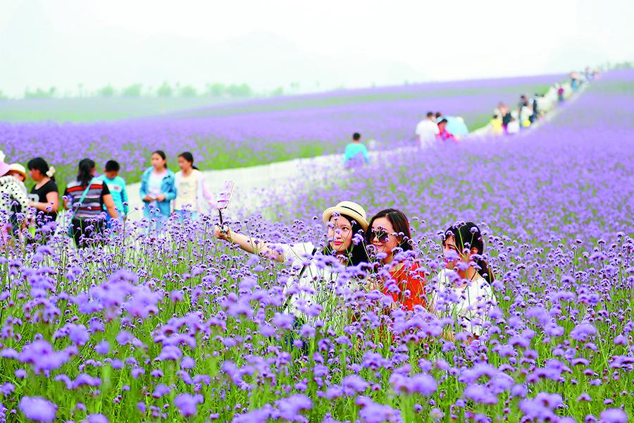 高清:浪漫花海香满园 忻城薰衣草引众多美女狂拍