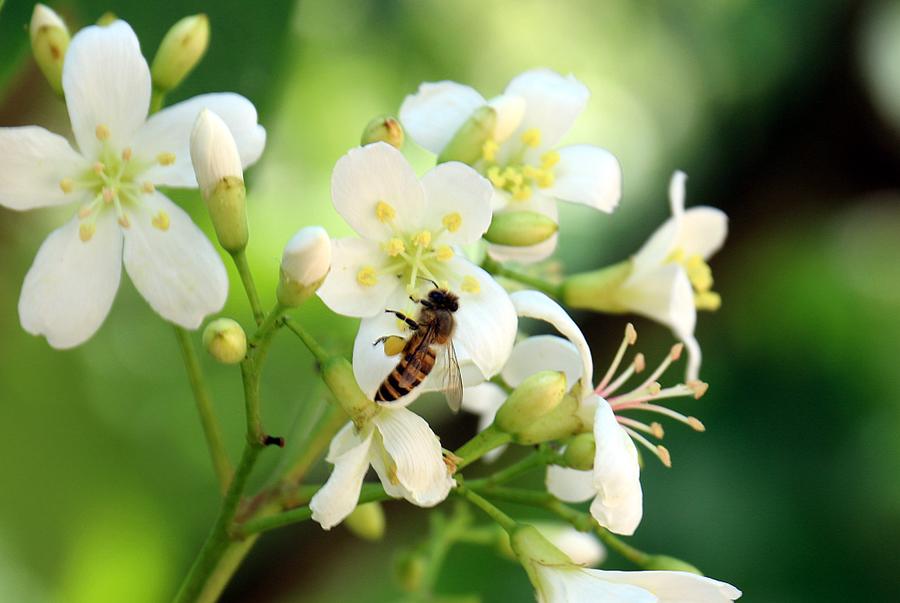 高清:隆林梧桐花开招蜂引蝶
