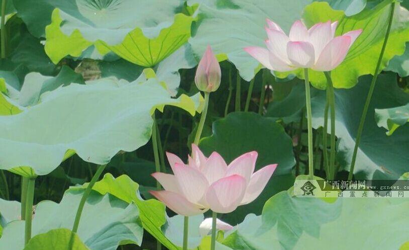 广西大学第十届荷花节开幕 碧云湖畔古琴声悠