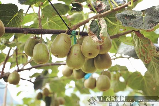 猕猴桃产业优势突出 乐业种植得天独厚