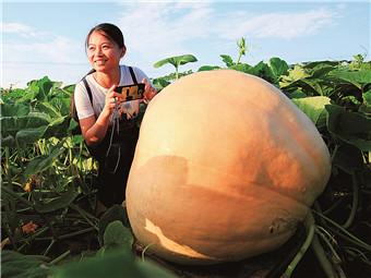 """21日焦点图:来宾农场""""诞生""""100多公斤""""南瓜王"""""""