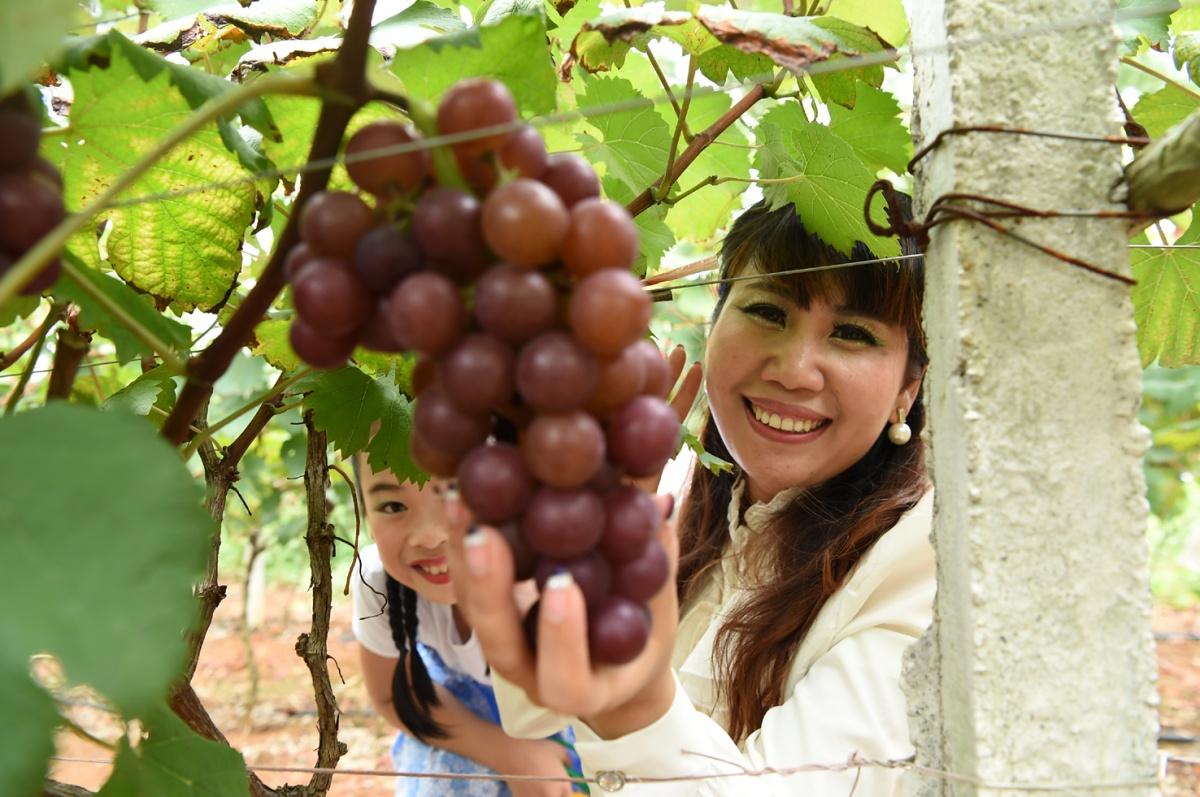 宾阳和吉葡萄熟了,葡萄节邀您共享甜蜜