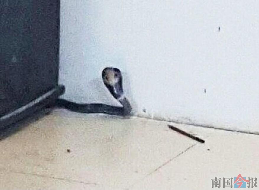 柳州九头山路厂房惊现1米长眼镜蛇