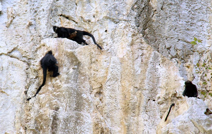 高清:隆林天生桥镇发现一级保护动物黑叶猴群活动