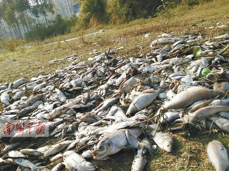 数千公斤鱼蹊跷死亡村民竟捞来食用 警方介入调查