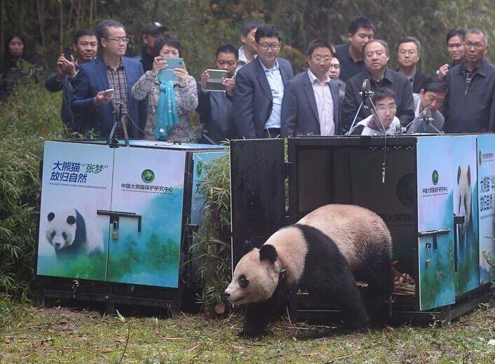 中国放归两只雌性大熊猫