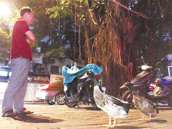 人家大多是遛狗 他却独爱遛鸭子