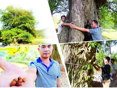 宾阳村落发现罕见300年古树(组图)