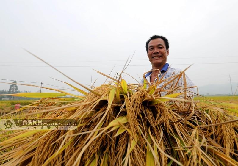 """高清:稻浪闪金光 桂北""""立冬""""抢收稻"""
