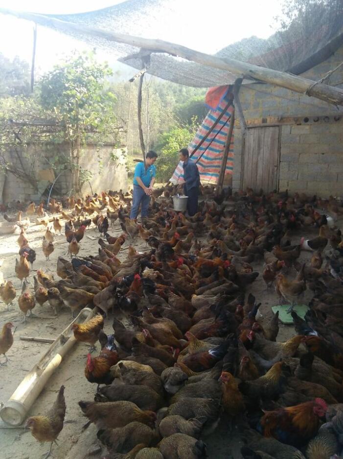 大化养殖七百弄鸡成规模促农民增收