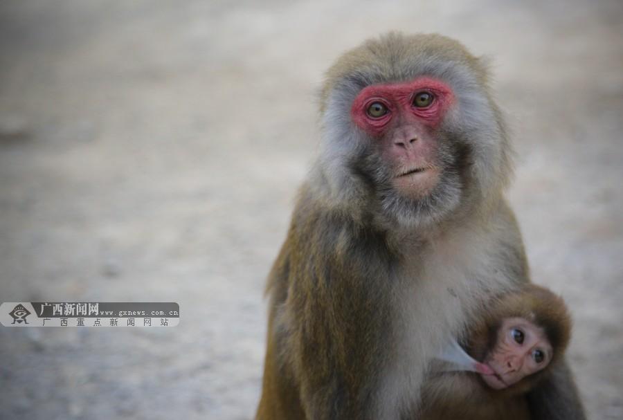 高清:在巴腊猴山与猴子们来一次亲密接触吧