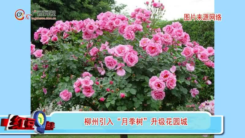 """柳州引入""""月季树""""升级花园城"""