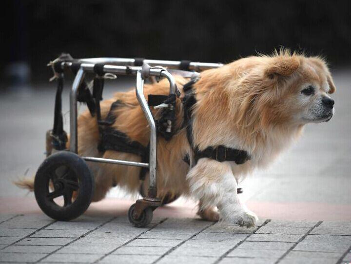 狗坚强半身残废靠轮椅行走
