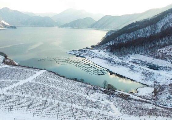 冰雪中酿造的中国冰酒奇迹