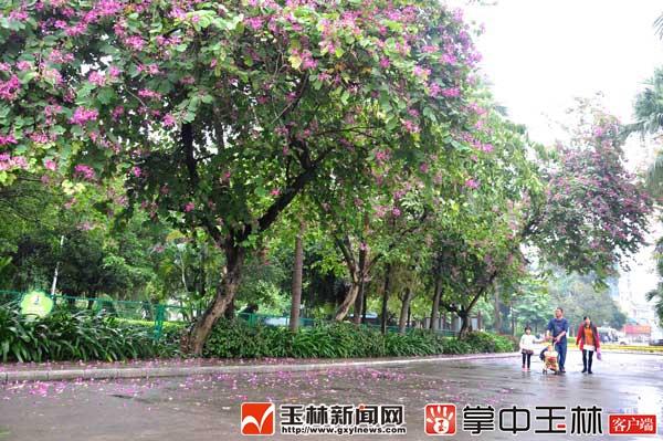 人民公园:红花紫荆盛开