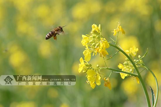 隆林油菜花开景色迷人(图)