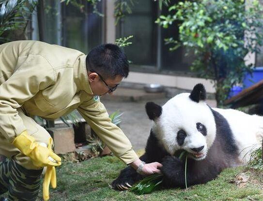 """37岁大熊猫寿星""""巴斯""""贺岁庆典在福州举行"""