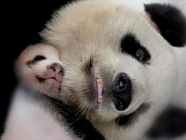 """上海大熊猫母女""""帼帼""""""""花生""""离世"""