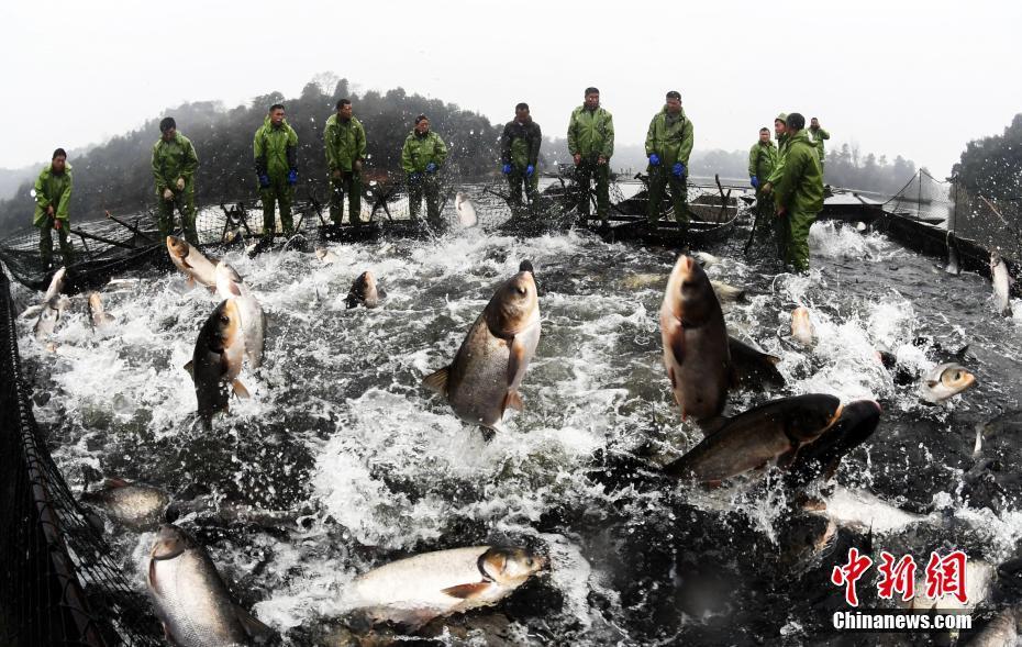 江西仙女湖冬捕进入旺季 日捕有机鱼30万斤