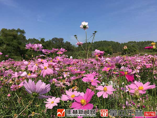 福绵龙泉湖生态园:格桑花开满园