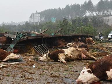 挂车侧翻 48头牛摔翻在地