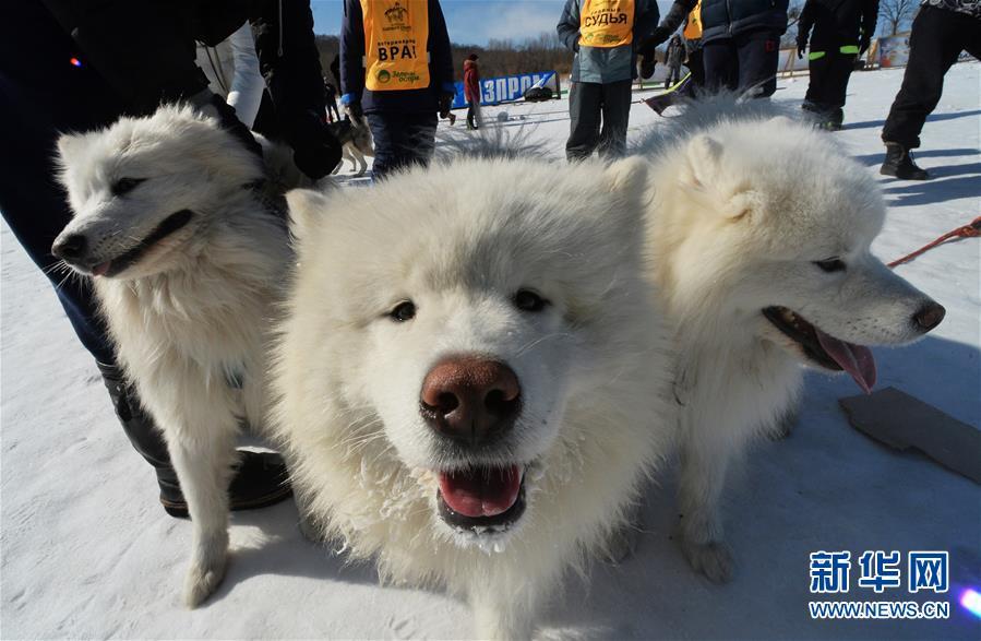 [1](外代二线)俄罗斯滨海边疆区举行狗拉雪橇比赛