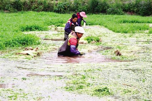 """邕宁区:绿色水芹""""种""""出致富产业"""