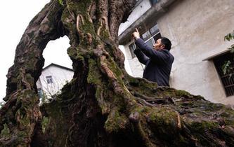 """""""树坚强""""根部空心依然存活"""
