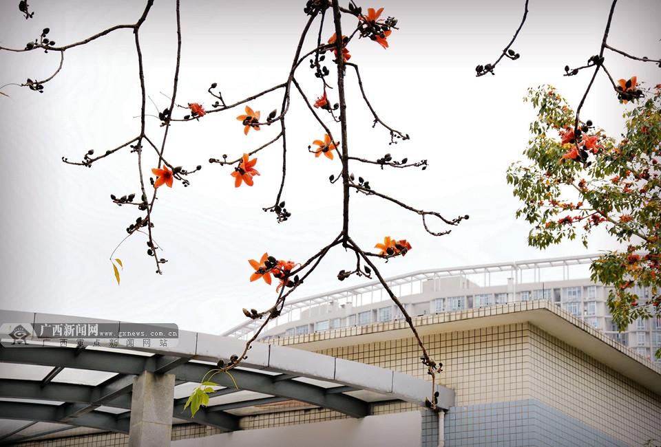高清:春花绽放校园美 广西大学校园成花的世界(22/22)