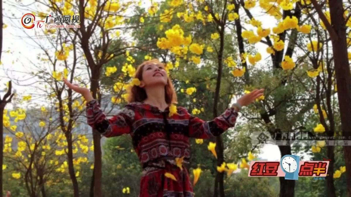 黄花风铃木在邕盛开