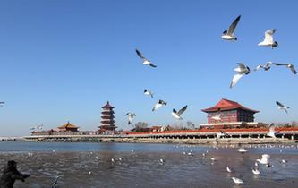 山东蓬莱:鸥舞春光
