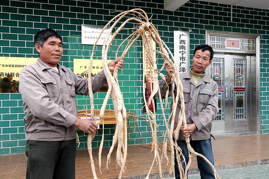 """邕宁区屯了村:发展中草药种植 找准""""扶贫路"""""""