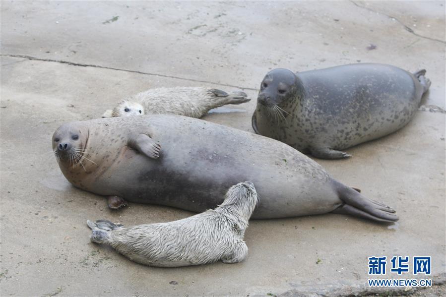 #(社会)(1)山东烟台:新生斑海豹与游客见面