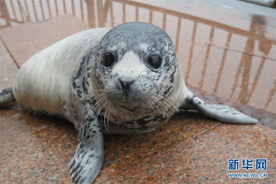 #(社会)(2)山东烟台:新生斑海豹与游客见面
